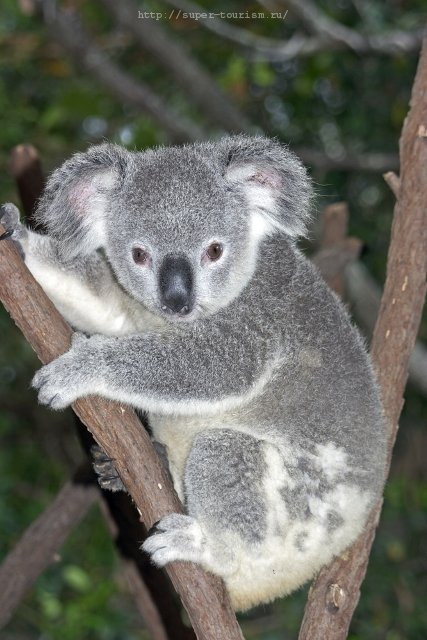 Коала отдых в Австралии