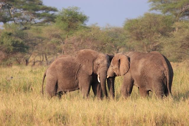 Слоны в Серенгети отдых в Танзании