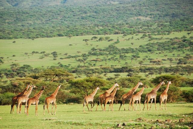 отдых в Танзании жирафы