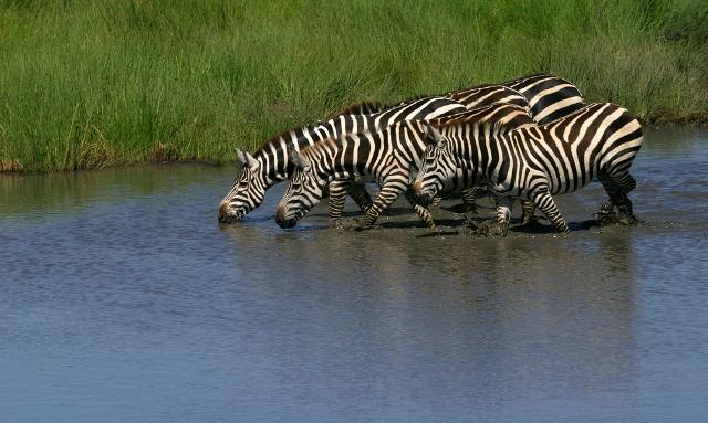 путешествие в Танзанию зебры