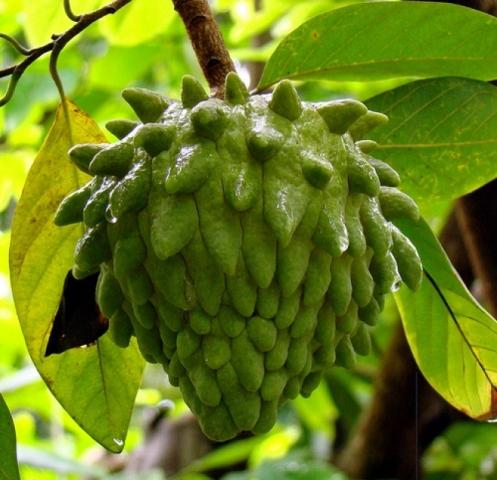 фрукт атемойя